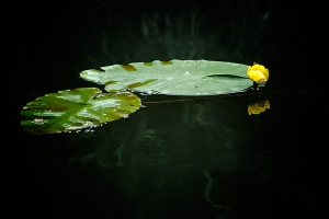 Zen-Passion-Lilly-Pad