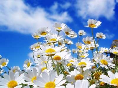 flores_margaritas1