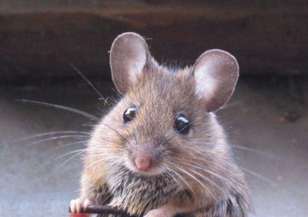 raton-roedor